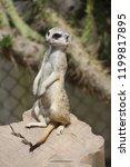 suricata standing on a guard ...   Shutterstock . vector #1199817895