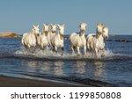 white camargue horses galloping ...   Shutterstock . vector #1199850808