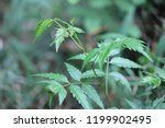 Neem Tree Medicinal Plant