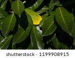 botanical background  a yellow...   Shutterstock . vector #1199908915
