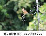 female northern cardinal... | Shutterstock . vector #1199958838