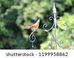 female northern cardinal... | Shutterstock . vector #1199958862