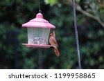 female northern cardinal... | Shutterstock . vector #1199958865