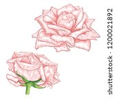 hand drawn rose flower sketch...   Shutterstock .eps vector #1200021892