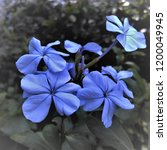 bunch of blue flowers.which... | Shutterstock . vector #1200049945