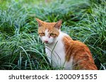 Stock photo red ginger cat with beutiful yellow eyes sitting in green grass handsome ginger cat portrait 1200091555