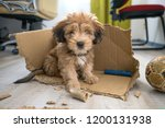 Stock photo naughty dog left home alone sitting in the middle of mess on the floor disobedient dog with bad 1200131938