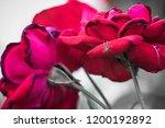 red rose flower close up | Shutterstock . vector #1200192892