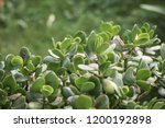close up of succulent plant... | Shutterstock . vector #1200192898