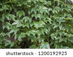 close up of green vine foliage | Shutterstock . vector #1200192925