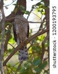 eurasian sparrowhawk  accipiter ...   Shutterstock . vector #1200193795