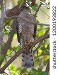eurasian sparrowhawk  accipiter ...   Shutterstock . vector #1200193822