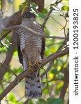 eurasian sparrowhawk  accipiter ...   Shutterstock . vector #1200193825