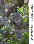 eurasian sparrowhawk  accipiter ...   Shutterstock . vector #1200193828