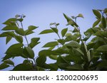 close up of cherry tree foliage ... | Shutterstock . vector #1200200695