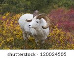 Dall in Denali - Dall sheep in the tundra colors. Savage River, Denali National Park, Alaska