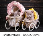Stock photo scottish straight and scottish fold kittens professional photography of kittens fluffy gray 1200278098