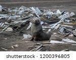 antarctic fur seal  deception... | Shutterstock . vector #1200396805