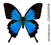 Stock photo papilio ulysses blue emperor or blue mountain swallowtail butterfly beautiful bright blue among 1200434938