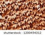 texture of leaves of a plant of ... | Shutterstock . vector #1200454312
