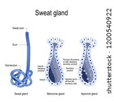 sweat gland. merocrine and... | Shutterstock .eps vector #1200540922