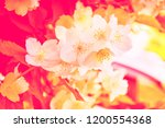 white jasmine. the branch... | Shutterstock . vector #1200554368