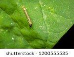 closeup of a box tree moth...   Shutterstock . vector #1200555535