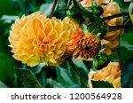 Giant Orange Dahlias On The...