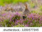 red grouse calling. young  male ... | Shutterstock . vector #1200577345