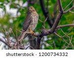 Young Cooper's Hawk  Accipiter...