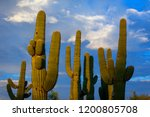 Sunlit Cluster Of Saguaro Cact...