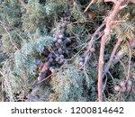 closeup of felled fir tree with ... | Shutterstock . vector #1200814642