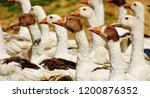 geese fed in the natural... | Shutterstock . vector #1200876352