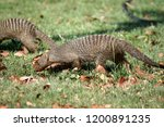 banded mongoose at a campground ... | Shutterstock . vector #1200891235