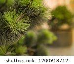 coniferous urban small tree... | Shutterstock . vector #1200918712