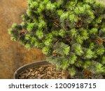 coniferous urban small tree... | Shutterstock . vector #1200918715