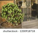 coniferous urban small tree... | Shutterstock . vector #1200918718