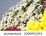 nightingale daisy flower in... | Shutterstock . vector #1200951352