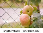 two eed apples on the tree | Shutterstock . vector #1201005532
