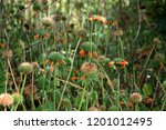 clump of lion's mane flowers in ... | Shutterstock . vector #1201012495
