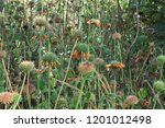 clump of lion's mane flowers in ... | Shutterstock . vector #1201012498