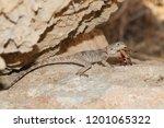 Agama Lizard Stellagama Stelli...