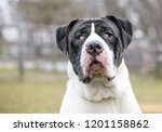 a mastiff mixed breed dog with... | Shutterstock . vector #1201158862