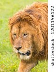 african male lion walking at... | Shutterstock . vector #1201196122