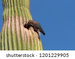 A Gila Woodpecker On A Saguaro...