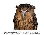 Stock photo a buffy fish owl winking on a white background 1201313662