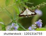 the box tree moth   Shutterstock . vector #1201316755