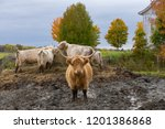 Cute Scottish Highland hairy red cow standing in muddy field staring, with other livestock feeding in the background, Beaupré coast, Quebec, Canada