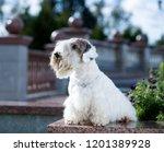 sealyham terrier portrait,  white wool