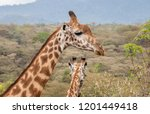 Two Giraffe Stand Together With ...